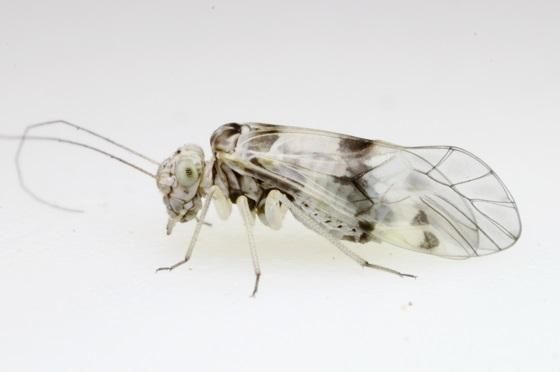 Indiopsocus lacteus - female