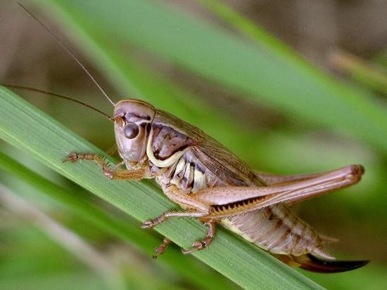 shieldback - Metrioptera roeselii - female