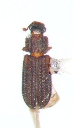 Bitoma quadricollis