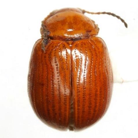 Pseudorthygia nigritarsis (Jacoby) - Pseudorthygia nigritarsis