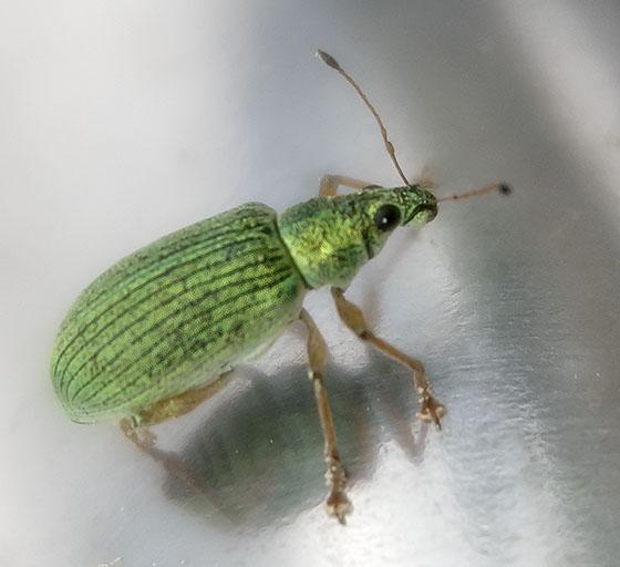 Little Green Bug - Polydrusus formosus