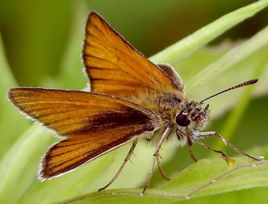 skipper - Thymelicus lineola