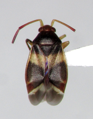Ceratocapsus fasciatus - female