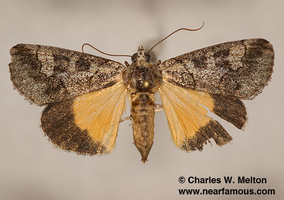 Moth - Neotuerta sabulosa
