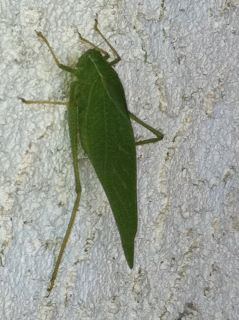 Leaf Bug? - Microcentrum