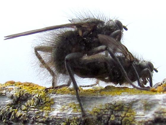 Hairy Island Flies - Scathophaga crinita - male - female