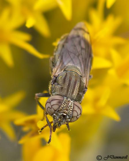 Fly on Ericameria - Orthonevra bellula