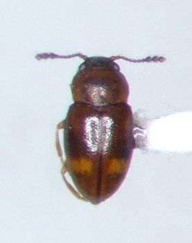 Toramus pulchellus