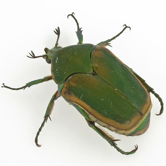Cotinis nitida - Green June Beetle - Cotinis nitida