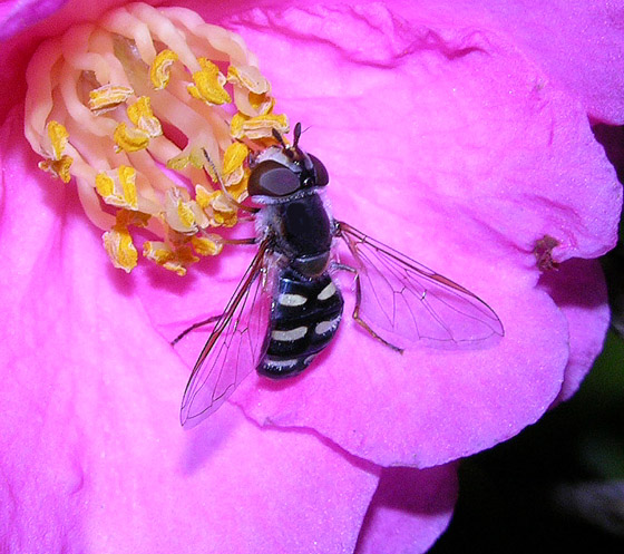 Syrphid Fly? - Eupeodes