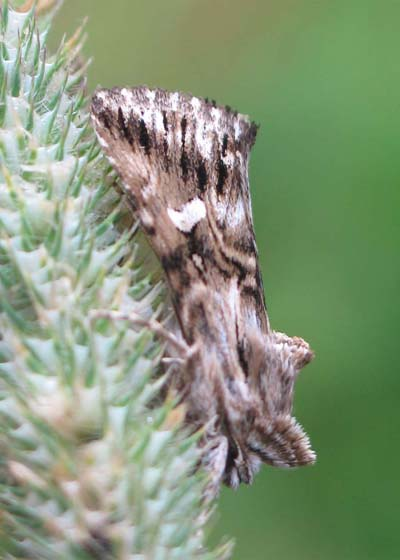 What Moth? - Calophasia lunula
