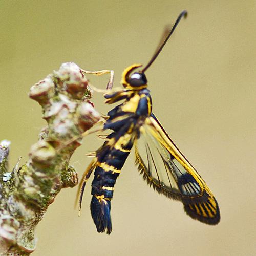 Currant borer - Synanthedon tipuliformis - male