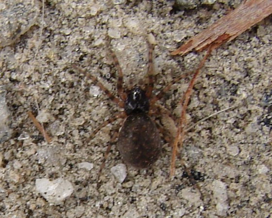 Possibly a Broad Faced Sac Spider?