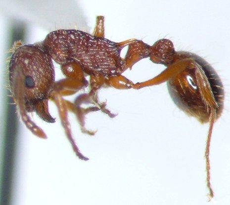 Ant - Myrmica americana
