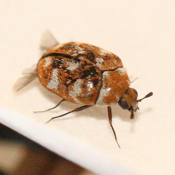 calico colored Carpet Beetle - Anthrenus verbasci