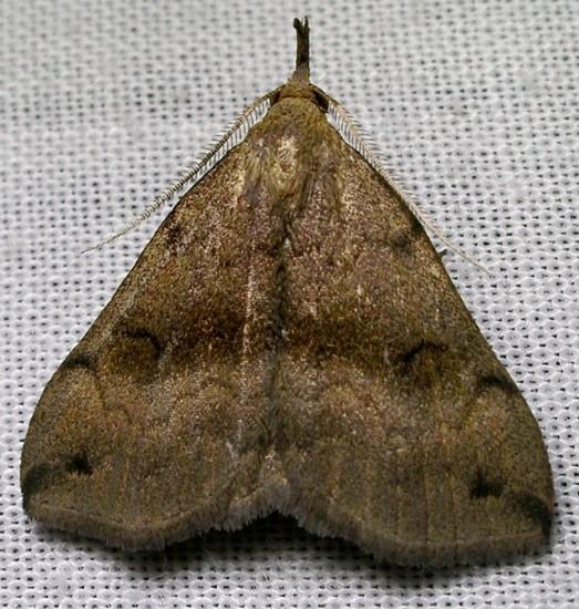 moth - Phalaenostola eumelusalis - male
