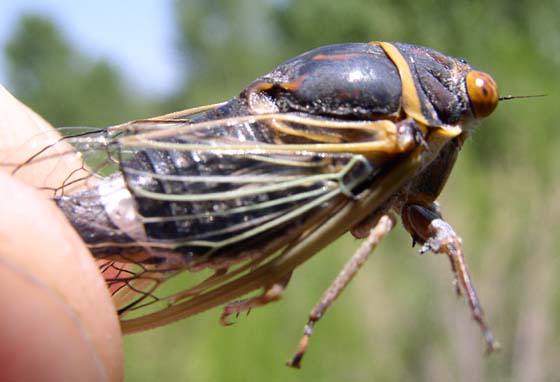 Unknown Cicada - Diceroprocta apache