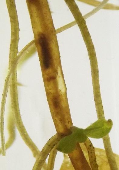 Pupa, Veronica leaf miner, in stem