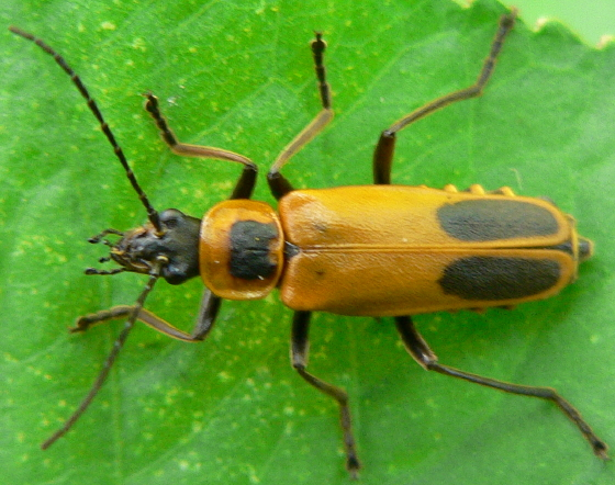 Goldenrod Soldier Beetle - Chauliognathus pensylvanicusGoldenrod Soldier Beetle
