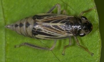 6007915 Cicadellid - Evacanthus