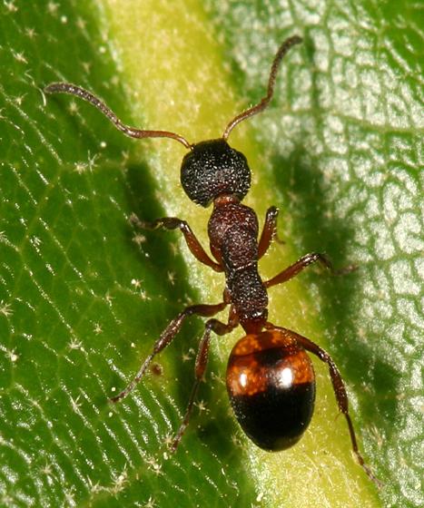 rough textured brown ant - Dolichoderus plagiatus