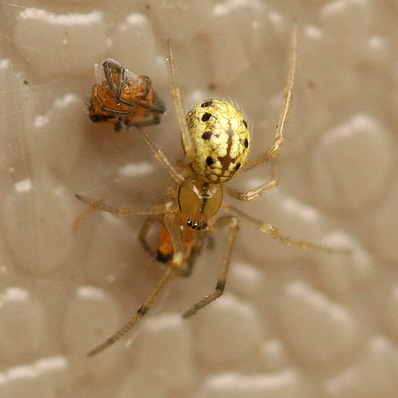 Small yellow spider with black spots - Enoplognatha ovata