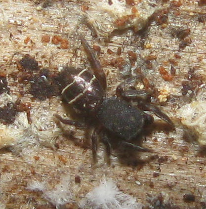 Tiny jumping spider - Attidops youngi