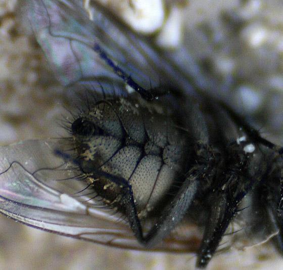 Subfamily Miltogramminae - Satellite Fly (deceased) - female