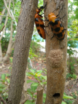 Orange Beetles with Black Spots - Cissites auriculata