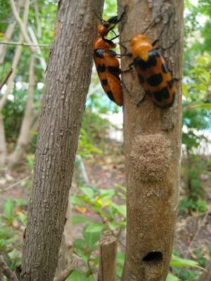 Orange Beetles with Black Spots - Cissites auriculata