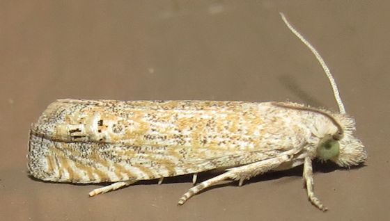 Hodges#3045 - Pelochrista galenapunctana