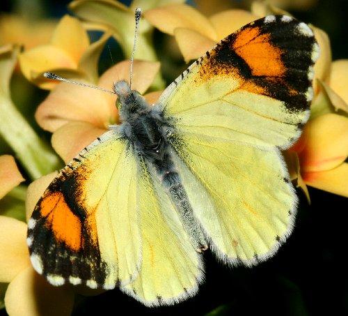 Desert Orangetip, Anthocharis cethura pima - Anthocharis cethura - male