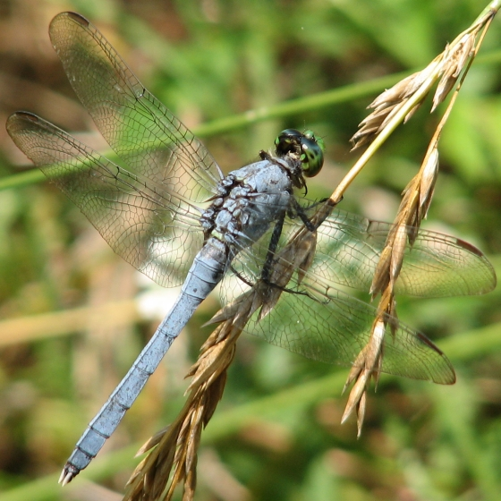 dragonfly - Erythemis simplicicollis - male