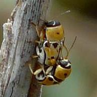 Love is in the air... - Griburius larvatus