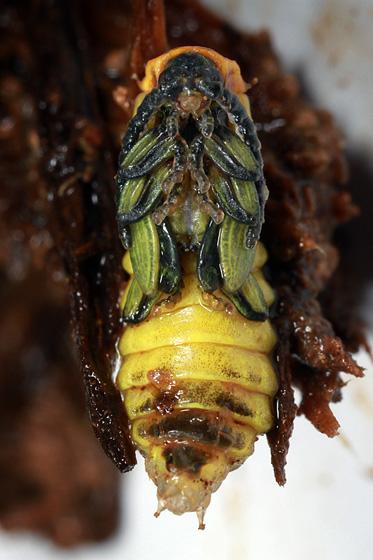 beetle pupa - day 12 - Eros humeralis