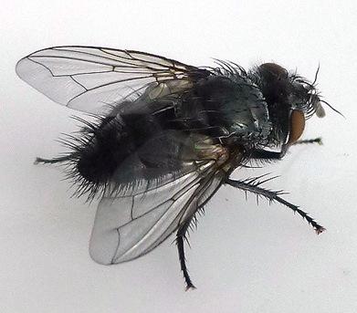 Tachinidae: Monarch parasitoid