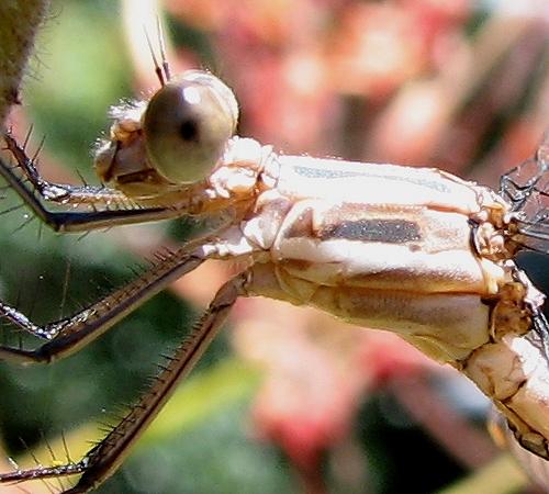 Immature Male CA Spreadwing - Archilestes californica - male