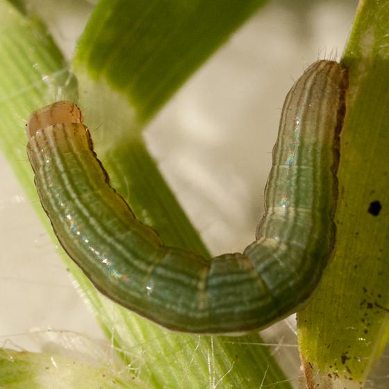 Day 11 -- Caterpillar A - Anicla infecta