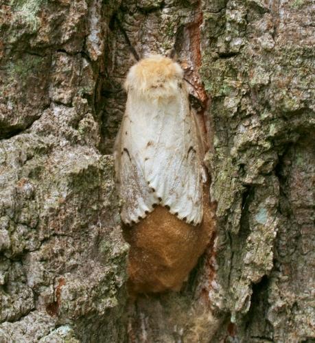 Gypsy moth eggs and larvae - Lymantria dispar