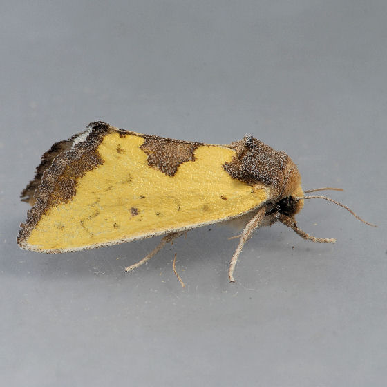 9785 Yellow Sunflower Moth - Stiria rugifrons