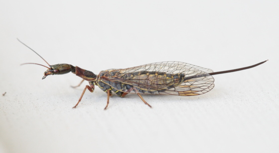 Snakefly - Agulla - female