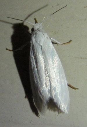 small white moth