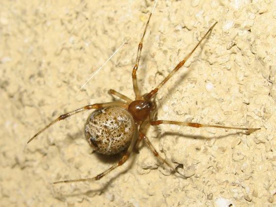 Common House Spider - Parasteatoda tepidariorum - female