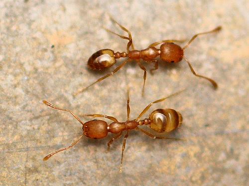Ants - leafcutter? - Monomorium pharaonis