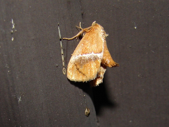 Moth - Lithacodes fasciola