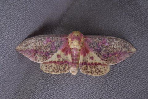 Beautiful yellow/pink moth - Eacles imperialis