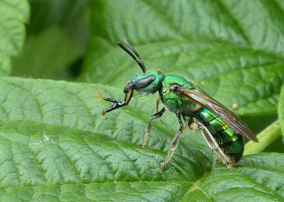 Pure Green Augochlora (Augochlora pura) Sweat Bee? - Augochlora pura