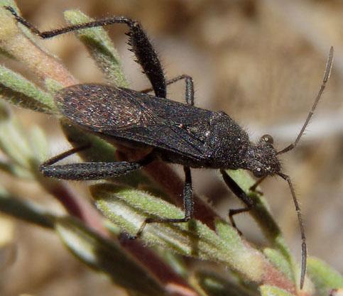 Gray Bug - Alydus eurinus