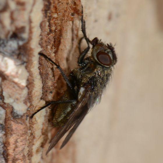 Shiny Green-Gold Fly - Pollenia - female