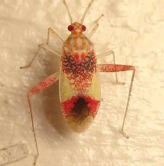 Phytocoris venustus